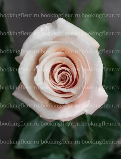 Классическая роза Mother of pearl
