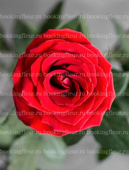 Классическая роза Nina