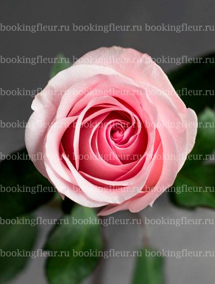 Классическая роза Novia