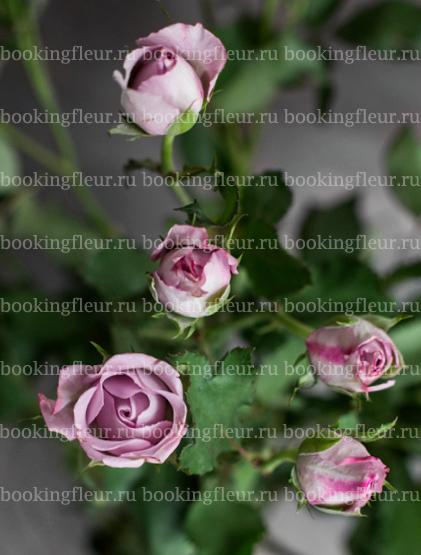 Кустовая роза Ocean Mikado