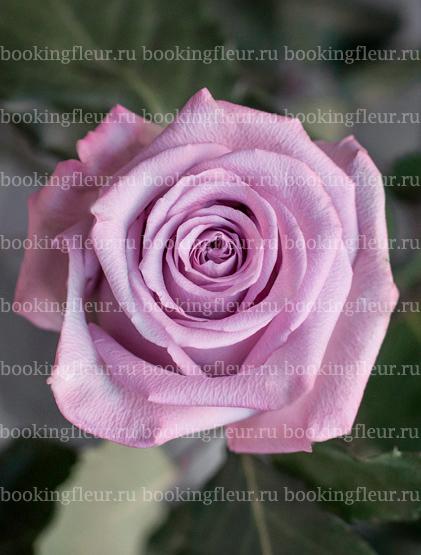 Классическая роза Ocean Song