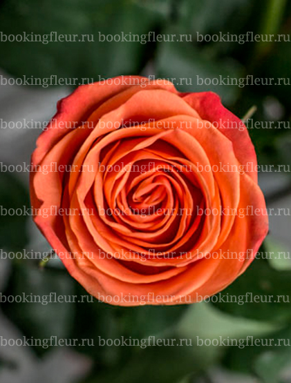 Классическая роза Orange Crush