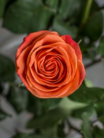 Оранжевая эквадорская роза Orange Crush