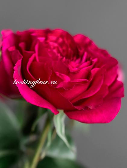 Пионовидная роза David Austin Capability