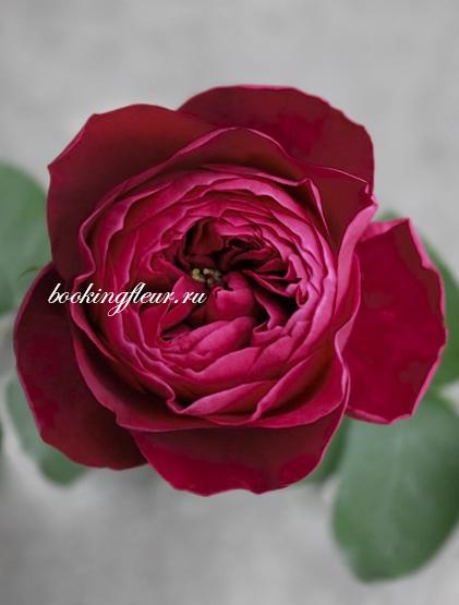 Пионовидная роза David Austin Darcey