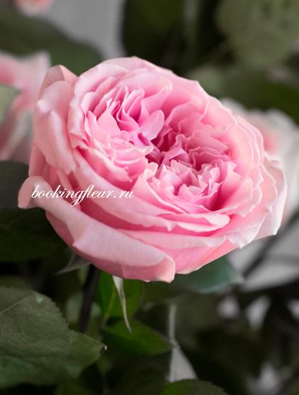 Пионовидная роза David Austin Miranda