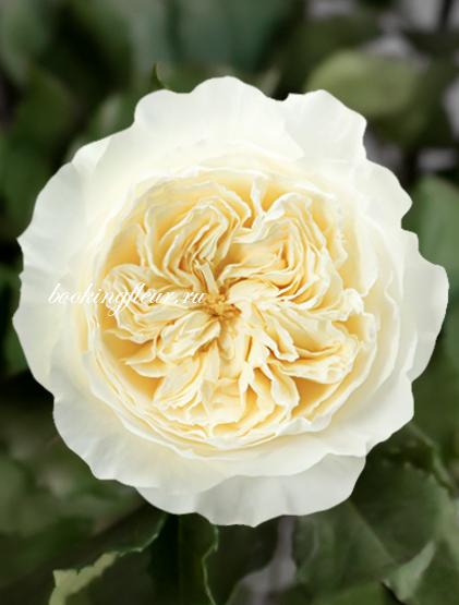 Пионовидная роза David Austin Patience
