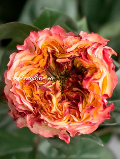 Пионовидная роза Kabanna