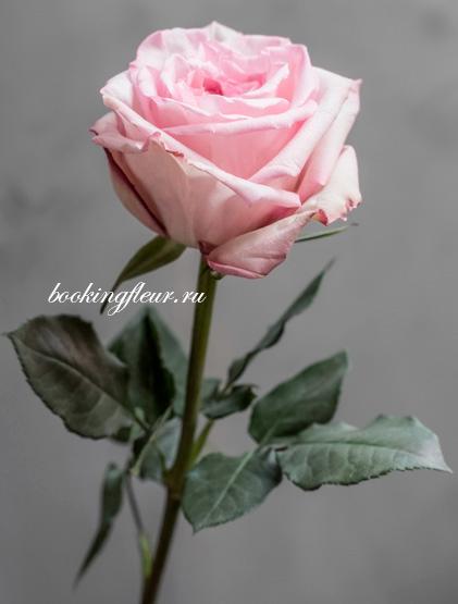 Пионовидная роза Pink O'Hara