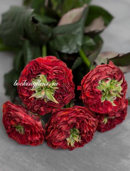 Пионовидная роза Red Eye