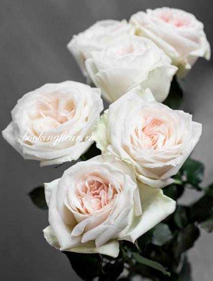 Пионовидная роза White O'Hara