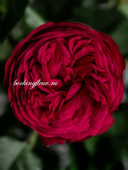 Пионовидная роза Red Piano