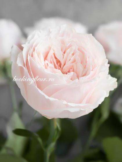 Пионовидная роза Tsumugi