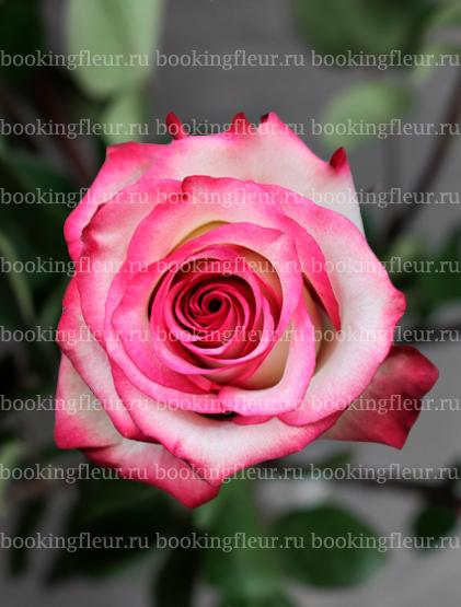 Классическая роза Paloma