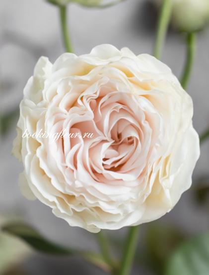 Кустовая роза Pearl Diamond
