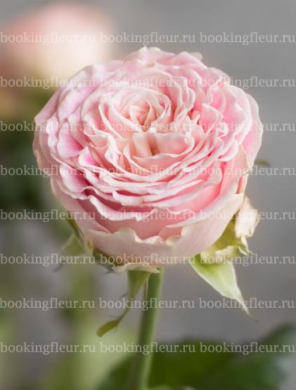 Классическая роза Pink Bubbles