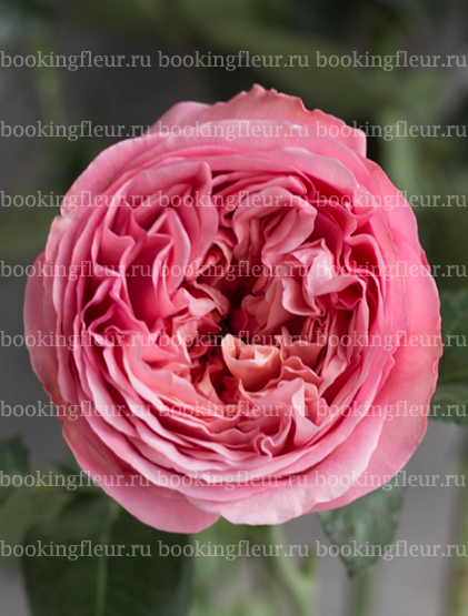 Пионовидная роза Pink Expression