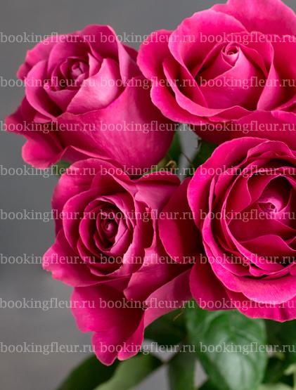 Классическая роза Pink Floyd