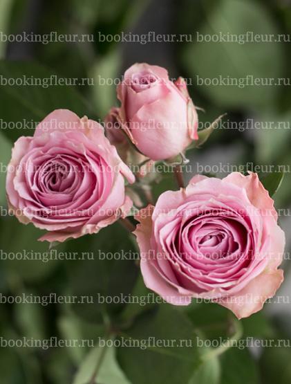 Кустовая роза Pink Irishka