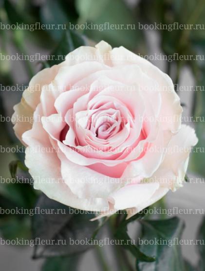 Классическая роза Pink Mondial