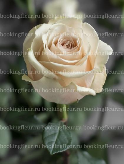 Классическая роза Pompeii