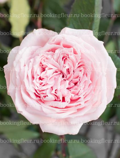 Пионовидная роза Princess Hitomi