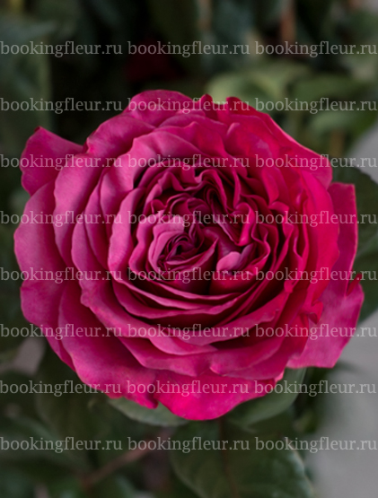 Пионовидная роза Princess Kishi