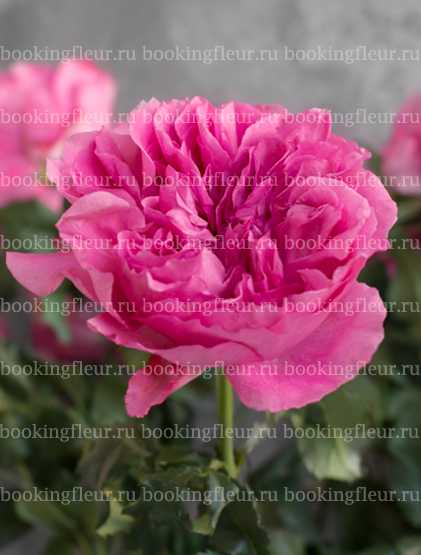 Пионовидная роза Princess Meiko