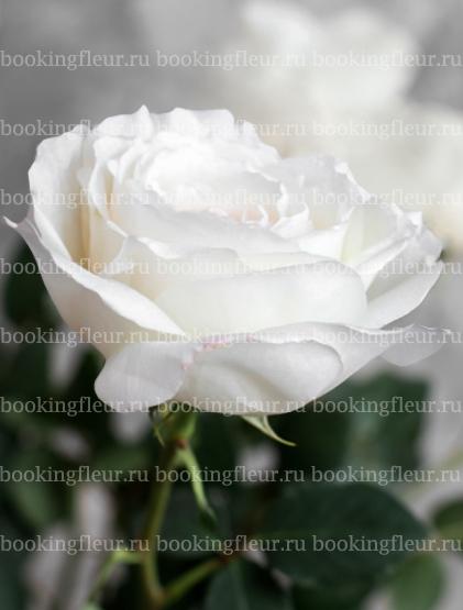 Пионовидная роза Princess Miyuki