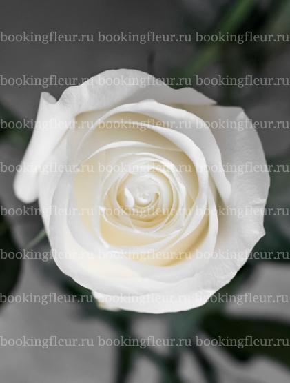 Классическая роза Proud