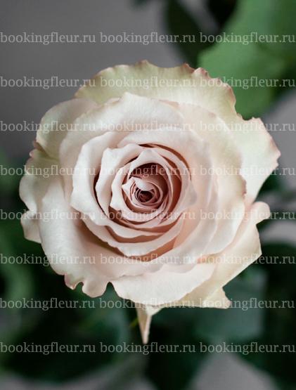 Классическая роза Quicksand