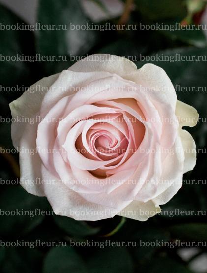 Классическая роза Ragazza