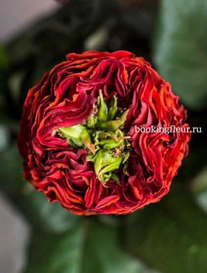 Красная голландская роза Red Eye