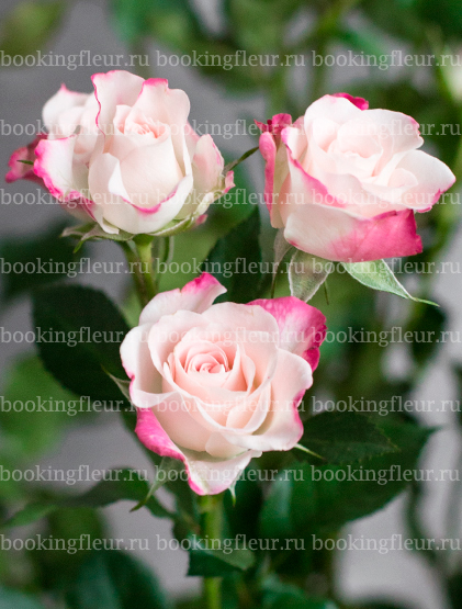 Кустовая роза Reflex