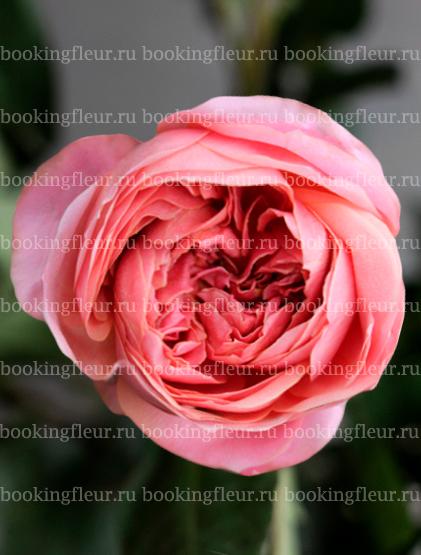 Пионовидная роза Romantic Antique