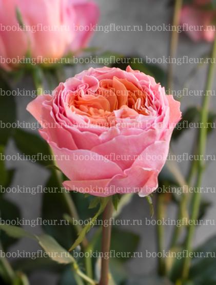 Пионовидная роза Rosa Loves Me