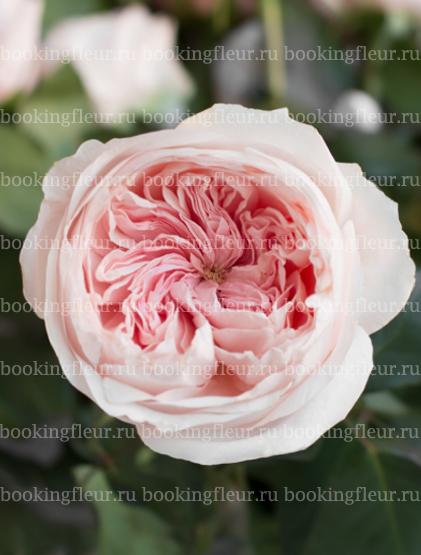 Пионовидная роза Sabrina