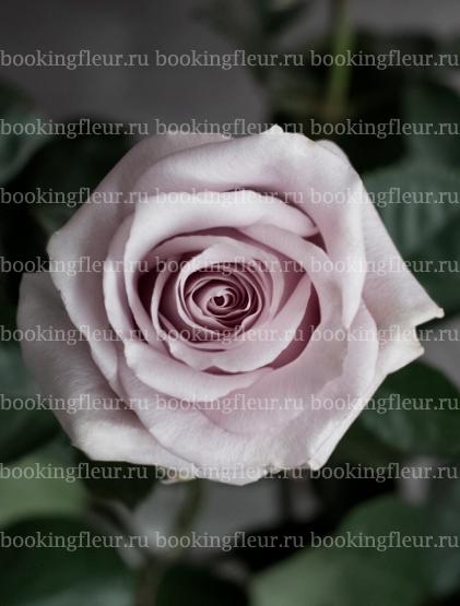 Классическая роза Safi
