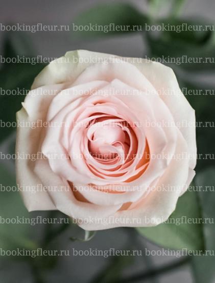 Классическая роза Salma