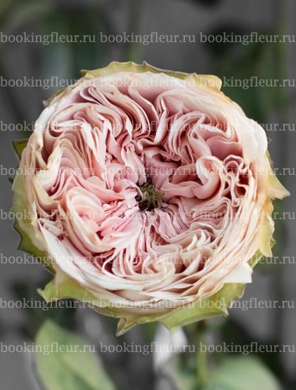 Пионовидная роза Senlitsu