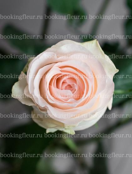 Классическая роза Senorita