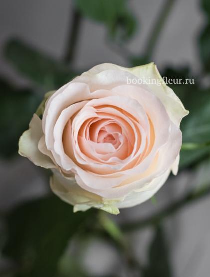 Розовая эквадорская роза Senorita