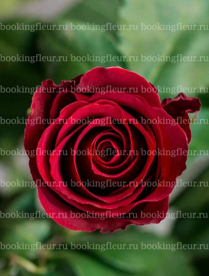 Классическая роза Sexy Red