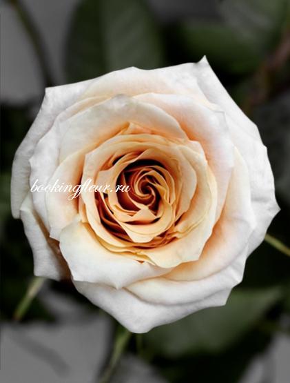 Классическая роза Shimmer