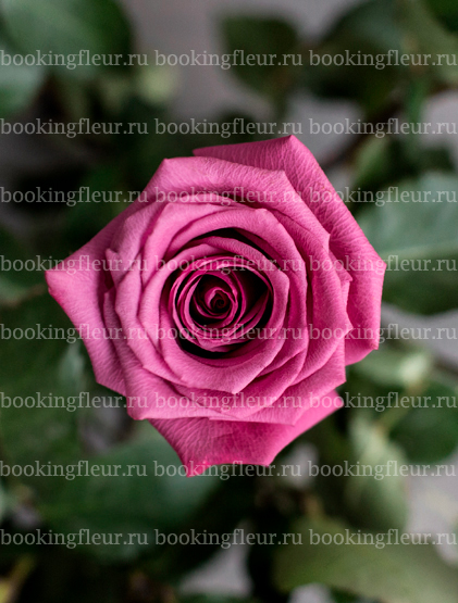 Классическая роза Shogun