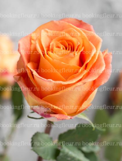 Классическая роза Silantoi
