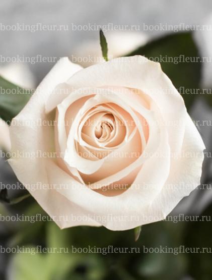 Классическая роза Silver Jet