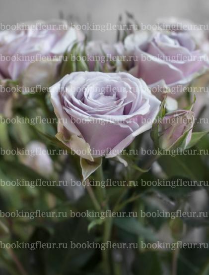 Кустовая роза Silver Shadow