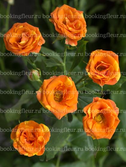 Кустовая роза Smashing