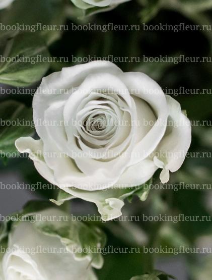 Кустовая роза Snowflake